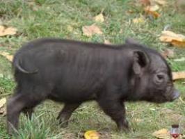 porc vietnamez