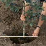 plantare copacel1